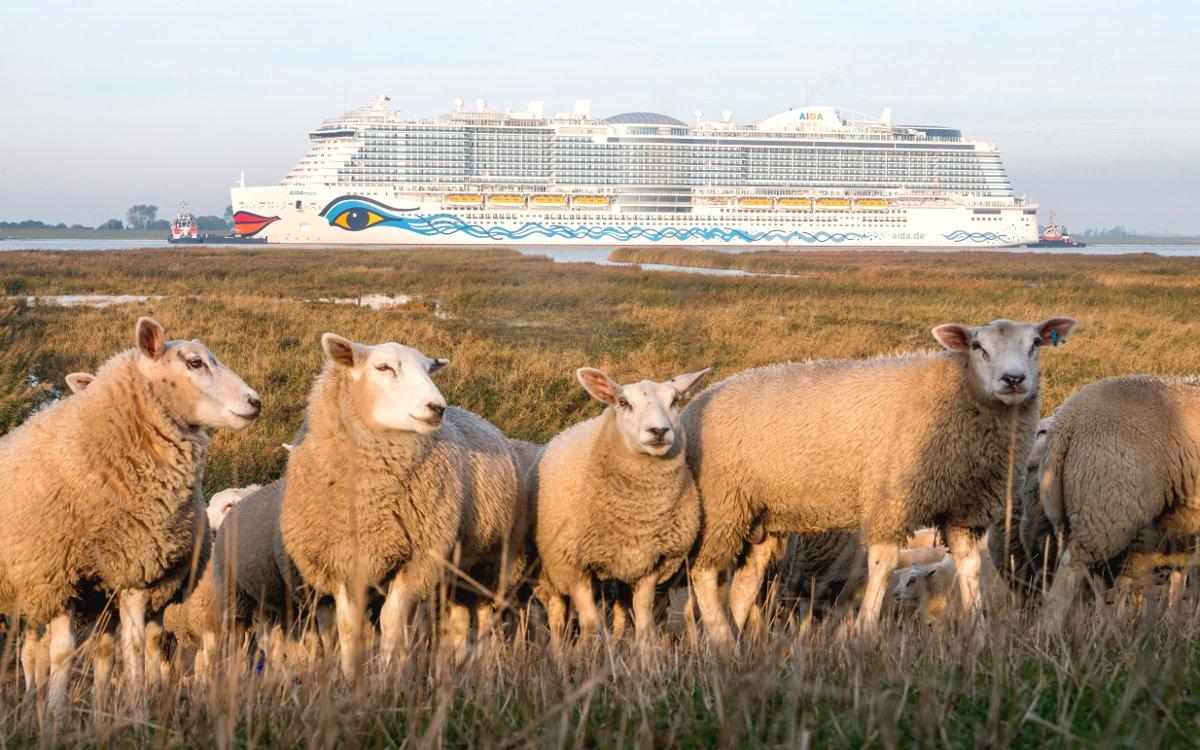 Schafe und AIDA